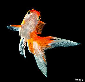 Goldfisch_333838