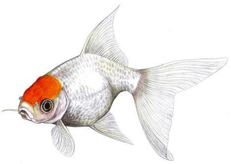 goldfisch_gr