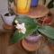 orchidea ami most virágzik