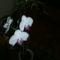 orchidea ami virágzik