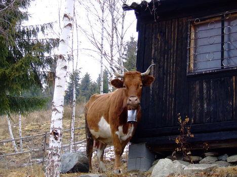 A csángó gazda egyik tehene a sok közül