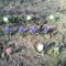 Fénykép 0028 jácintok a kertbe