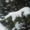 Roskad a fenyő a hó alatt