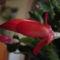 Újra virágzik a Karácsonyi kaktusz!