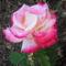Anyu virágai 010