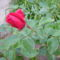Anyu virágai 019