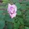 Anyu virágai 021