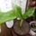 Böszörményiné növényei