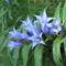 Fecsketárnics ( Gentiana asclepiadea )
