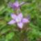 Osztrák tárnics(Gentiana austriaca)