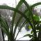 Virág helyett levelet hozó amarilis