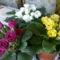 Primulák, dupla virággal, cakkos széllel
