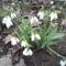 Fénykép 0276  Hóvirág