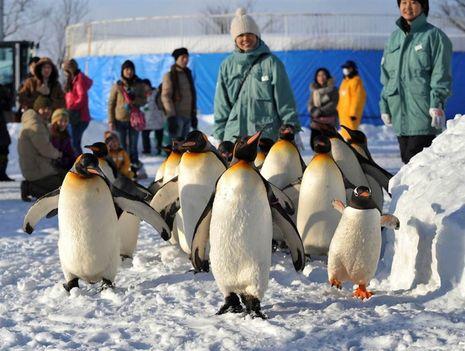 Királypingvinek szórakoztatják a látogatókat Japánban, az Asahiyama Állatkertben (Takashi Noguchi - AFP - Getty Images)