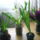 Ráczné Anci virágai -növényei