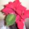 mikulás virágom