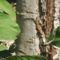 farkatlan gyikocska
