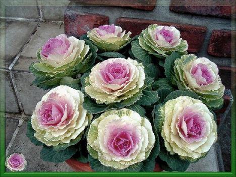 káposzta virág