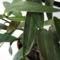 Vírusos Dendrobium kingianum