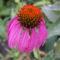 Bibor kasvirág - Echinacea purpurea