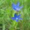 Gentian utricularia -Hólyagos tárnics