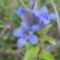 Gentiana cruciata ssp.phlogifolia-Barcasági tárnics