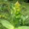 Gentiana lutea- Sárga tárnics