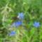 Gentiana nivalis -Havasi tárnics
