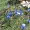 Gentiana verna- Tavaszi tárnics