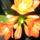 Klivia-001_1038121_9574_t
