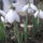 Nyuszika74 képei - Hóvirág