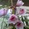 Rózsaszin csónakorchidea