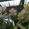 Sok virágos csónakorchidea