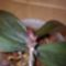 Anyatőn keiki és virágszárat hoz
