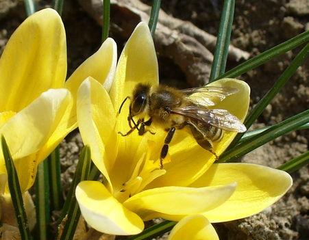Az első méhecske