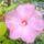 Bálint Szilveszterné hibiszkuszai