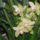 répásyné orhideái