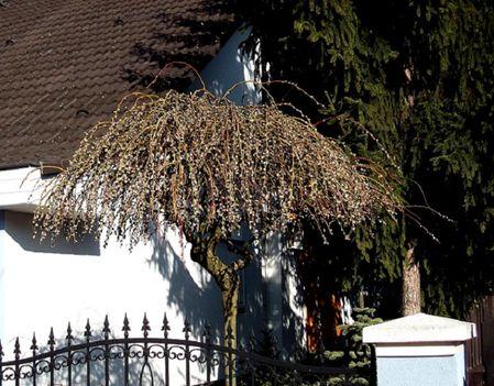 Szomorú barka (Salix caprea Pendula)