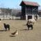 Fekete bárányok