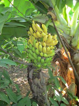 kezd érni a banán a tövön