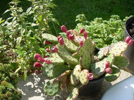 Kaktuszfüge
