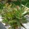 Sziciliai kaktusz ez is