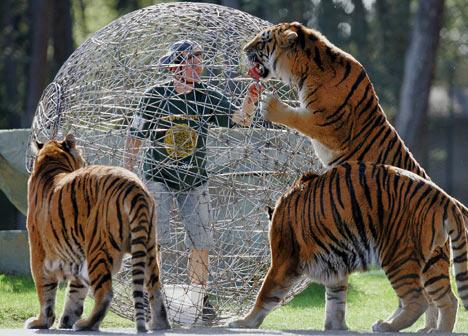 tigris ketreces