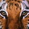Tigrisportré