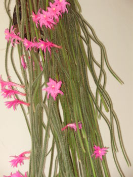 2009,kigyó kaktuszom
