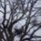 fa koronája