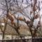 köcsögfa