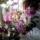 tk gyöngyi orchidea