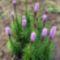 Diszcsorba - Liatris spicata