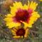 Kokárdavirág - Gaillardia pulchella